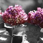 """Hydrangeas"" by Sari_McNamee"