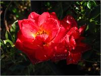 Dew on Red Tea Rose