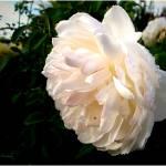 """Delicate White"" by JoyceDickens"