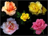 Roses Beautiful