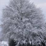 """Snow-covered Tree"" by Geoffrey_Angel-Attwood"