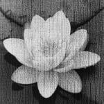 """Textured Lilly"" by PaulDucksbury"