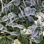 """Frosty leaves"" by Geoffrey_Angel-Attwood"