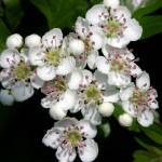 """Hawthorn blossom 01"" by Geoffrey_Angel-Attwood"
