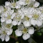 """Hawthorn blossom 02"" by Geoffrey_Angel-Attwood"