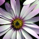 """Pink daisy"" by Geoffrey_Angel-Attwood"