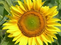 Sunflower 13