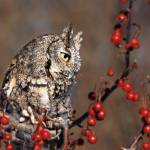 """Northern Screech Owl"" by cfoxtrot"