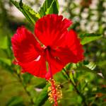 """Haitian Hibiscus Flower"" by C_Rivait"