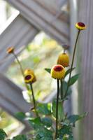 Yellow Cone Flowers