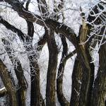 """tree trunks with hoarfrost"" by Persuaded"