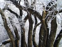 tree trunks with hoarfrost