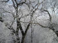 Hoarfrost in the Forest