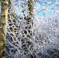 Hoarfrost on Trees