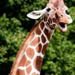 """Giraffe"" by ianjeffrey"