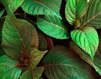 Metallic Green Leaves