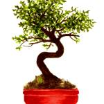 """Chinese Elm Bonsai Tree"" by vigliotti"