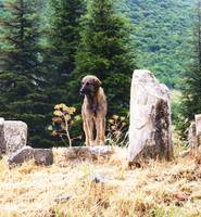 Kangal Dog - Ancient Ruins of Ephesus