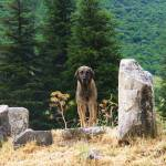 """Turkish Kangal Dog in Ephesus, Turkey"" by arttraveler"
