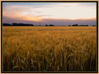 Summer Wheatfield at Sunset