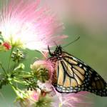 """Butterfly on Mimosa"" by GregFowler"