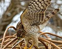 Cooper`s Hawk in attack mode.
