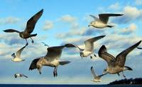Gathering of Seagulls