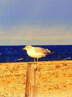 lonely Seagull