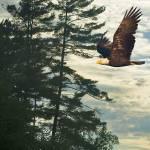 """""""Northland Bald Eagle"""" by PLudwig"""