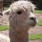 """""""llama face"""" by serenescenes"""