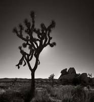 The Joshua Tree B&W (33.5