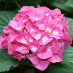 """Bright Pink Hydrangea"" by kristensteinfineart"