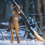 """""""Deer in a Sunbeam"""" by dteetor2"""