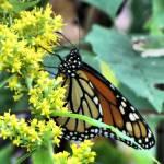 """Dynamic Butterfly3"" by kentsphotocorner"