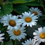 """Dynamic Daisies"" by kentsphotocorner"