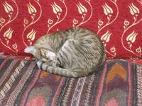 Cat on Rugs