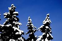 Winter evergreens