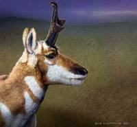 moonlight threat/ pronghorn buck