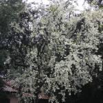"""White Winter Blossoms by K. Yaude"" by kyaudeart"