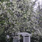 """""""White Blossoming Arbor by K. Yaude"""" by kyaudeart"""
