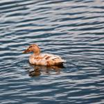 """Duck"" by johncorney"