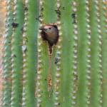 """Nesting in Saguaro"" by cub4bear"