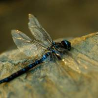 Blue Dragonfly Art Prints & Posters by Lynn Rougeau