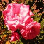 """Pink Roses"" by KessingerKlassics"
