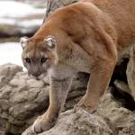 """""""Cougar on rocks"""" by Donshots"""