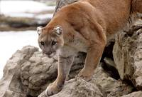 Cougar on rocks