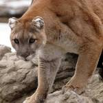"""""""Cougar on rock"""" by Donshots"""