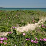 """Beach Path through Rosa Rugosa"" by brucetopher"
