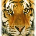 """""""Tiger"""" by Brian60"""