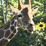 """Giraffe Sunflower"" by DreamDesigns"